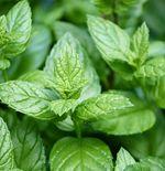 Peppermint, Daun dengan Segudang Nutrisi untuk Kesehatan