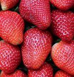 Manfaat yang Diperoleh dari Buah Strawberry, Mulai dari Mengurangi Kolesterol Hingga Berat Badan